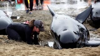 Relawan merawat kerumunan paus yang datang di South Island, Selandia Baru, 12 Februari 2017