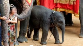 ช้างน้อยที่ปางช้างแห่งหนึ่งในไทย นักท่องเที่ยวถ่ายรูปกับช้างที่นี่ ช้างถูกบังคับให้คนขึ้นขี่และให้ความบันเทิงกับคนด้วยการเล่นฟุตบอล ระบายสี ขี่รถสามล้อ ปาลูกดอก และเต้นรำ