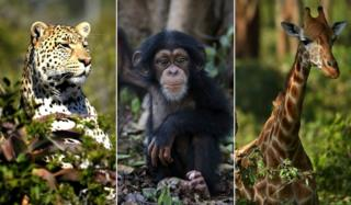 Collage of leopard, chimpanzee and giraffe all from Getty