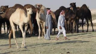 Camels cross Saudi Arabia's remote desert border into Qatar. Photo: 20 June 2017