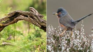Nightjars and Dartford warbler