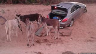 A pace of donkeys are photographed next to a stolen vehicle