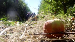 discarded apple