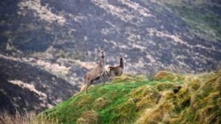 Deer in Tolsta Glen, Isle of Lewis