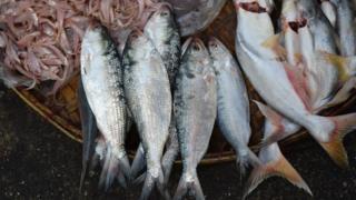 Cá jilsa