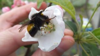 Bumblebees are frequent pollinators of apple crops