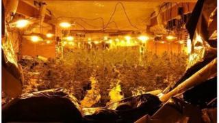 Cannabis plants seized