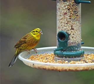 Yellowhammer on a feeder