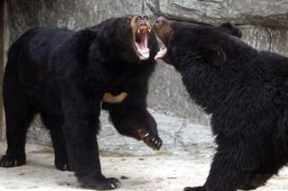 bears in a zoo enclosure