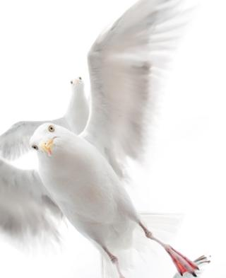 In the grip of the gulls