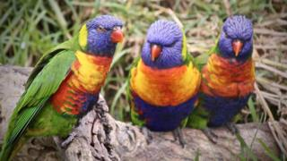 Three lorikeets (generic)