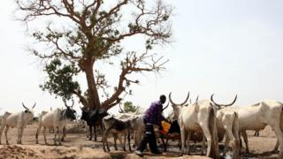 A Fulani herdsman water his cattle on a dusty plain between Malkohi and Yola tow