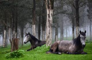 Horses are seen inside a forest near the ruins of the Greek and Roman city in Shahhat, Libya January 5, 2018. Picture taken January 5, 2018.