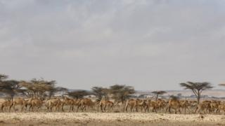 Ngamia katika eneo lililojitenga nchini Somalia la Puntland.