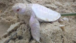 Picture of an albino turtle