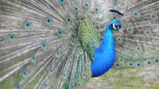 A peacock with its tail