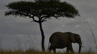 Fil yabani hayatta