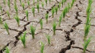 A rice paddy is parched and cracked from a long drought in Paju, north of Seoul, South Korea, 11 June 2015
