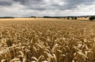 Wheat fields in Warwickshire