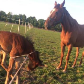 The horse caught in electric fence