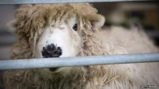 A ewe looking through the bars of an enclosure