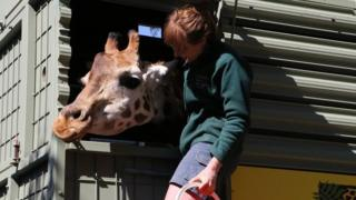 Asali the giraffe crosses the Nullarbor to arrive home to Adelaide