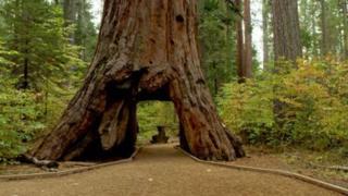 La secuoya gigante, al cual se le había tallado en un túnel hace más de un siglo, cayó tras una fuerte tormenta.
