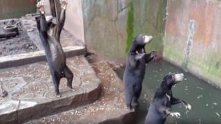 Screenshot of a video taken in July 2016 showing the sun bears in Bandung zoo