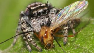Jumping spider Phidippus mystaceus feeding on a nematoceran prey (photo by David E. Hill, Peckham Society, Simpsonville, South Carolina)