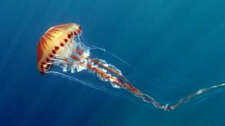 compass jellyfish