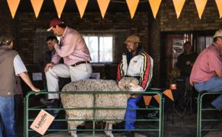 A handler holds a Merino sheep at a stand at the Nampo Harvest Day 2017 agricultural fair on May 16, 2017 in Bothaville Nampo is the largest agricultural fair on the African continent holding its 51st edition with over 700 exhibitors and over 70,000 visitors expected.