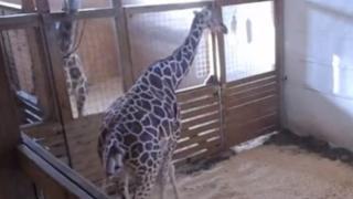 Still of live feed of April the Giraffe giving birth