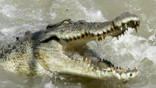 A large saltwater crocodile shows aggression as a boat passes by on the Adelaide river 60 kilometers (35 miles) from Darwin in Australia's Northern Territory, Saturday, 15 October 2005