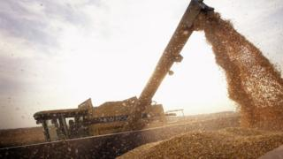 US farmer harvests genetically modified corn crops