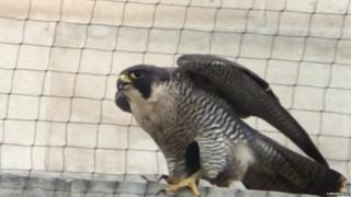 A peregrine spotted in Leeds
