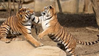 Two tigers play in an enclosure at the Yancheng Safari Park on 28 December 2015.