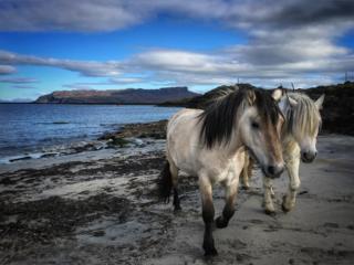 Highland Ponies on Gallanach beach
