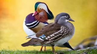ในฤดูผสมพันธุ์เป็ดแมนดารินตัวผู้จะมีขนสีสันฉูดฉาดสะดุดตากว่าตัวเมีย