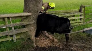 Cow in tree
