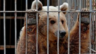 28 Mart 2017 tarihli fotoğrafta Musul'daki hayvanat bahçesinde kafesinde terkedilmiş ayı Lula