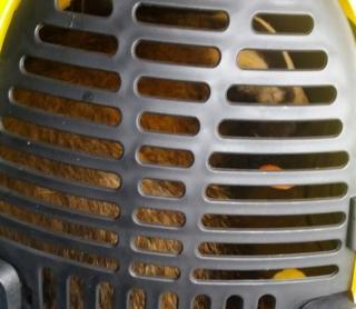 Badger trapped in a cage
