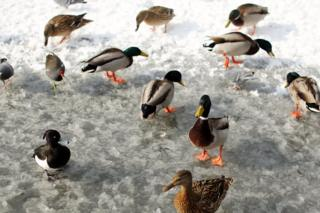 Wildfowl feed on a frozen pond in Dulwich Park