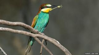 Bee-eater (c) Harvey van Diek