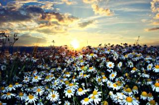 Daisy flowers in a field at sunset