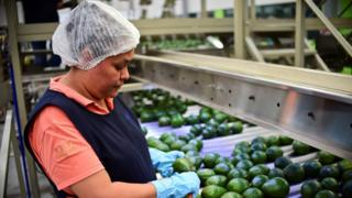 A employee works at an avocados packaging plant in the municipality of Uruapan, Michoacan State, Mexico, on October 19, 2016.