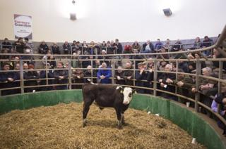 A cow stands in an auction ring