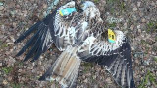 Dead red kite