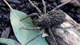 A wolf spider in Sydney Wildlife World on July 18, 2008.