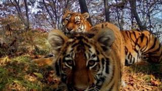 साइबेरियाई टाइगर
