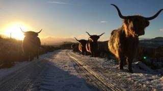Highland cows at Ballimore Farm